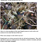 The fruiting bodies of the fungal system shown above were found in the grass near the base of the tree.